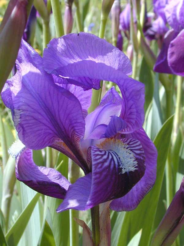 Iris marsica (giaggiolo)