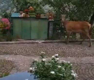 "QUANDO I CERVI DIVENTANO ""DI CASA"""